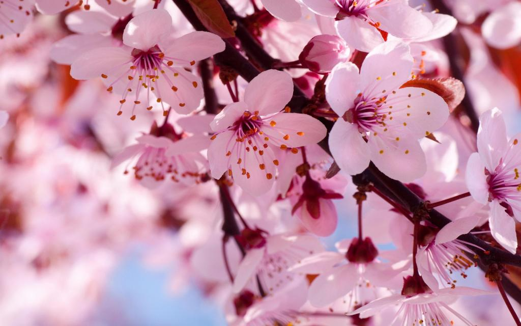 cherry-blooms